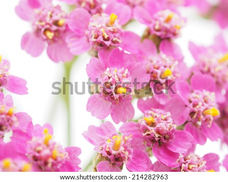 pink milfoil on white background - stock photo