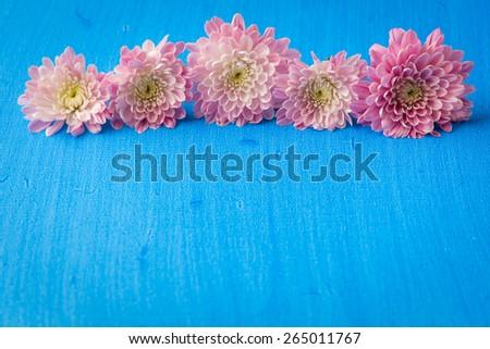 Pink mum (chrysanthemum) flowers on blue textured canvas background. selective focus - stock photo