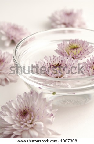 Pink Mums in a Bowl of water - stock photo