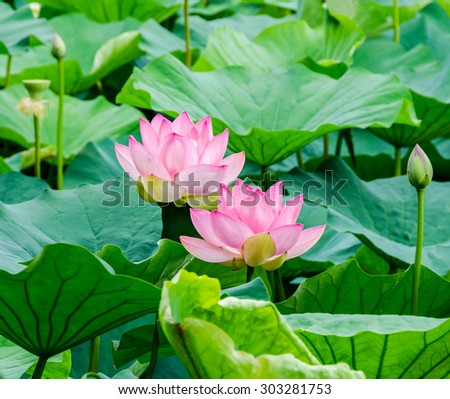 Pink nuphar flowers, green field on lake, water-lily, pond-lily, spatterdock, Nelumbo nucifera, also known as Indian lotus, sacred lotus, bean of India, lotus, close up. - stock photo