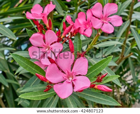 pink oleander flowers natural bouquet closeup - stock photo