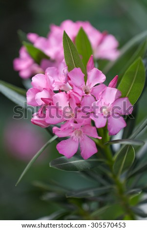 Pink oleander in blossom, shallow focus - stock photo