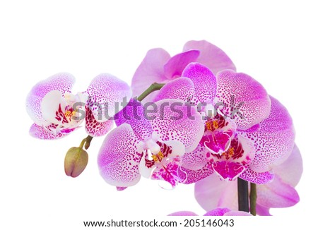pink  orchid branch close up  isolated on white background - stock photo