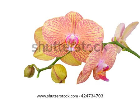 Pink orchid flower, isolated on white background, DOF - stock photo