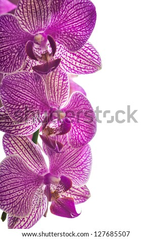 pink orchid flowers isolated on white background - stock photo