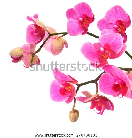 Pink orchid flowers with buds, white isolated - stock photo