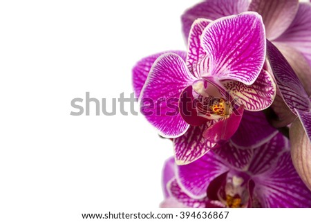 Pink orchid in pot on white background. Image of love and beauty. Natural background and design element. - stock photo