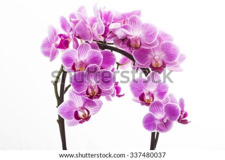 Pink Orchid Medium - stock photo