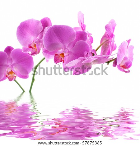 Pink Orchid on white background with reflection - stock photo