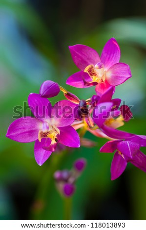 Pink orchids flowers in nature - stock photo