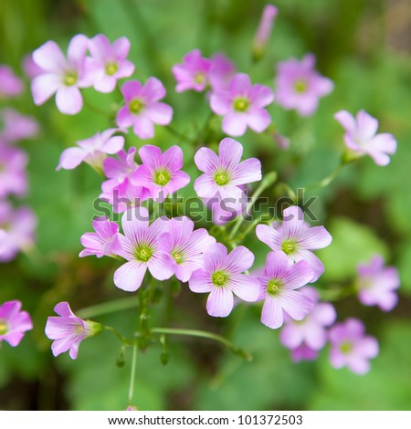 Pink oxalis(Oxalis corymbosa) in garden - stock photo