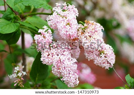 Pink palibin flower - stock photo