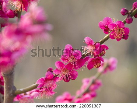 Pink Peach flowers blossoms on its branch. - stock photo