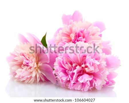 pink peonies flowers isolated on white - stock photo