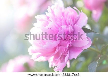 Pink peony blooming in the garden. - stock photo