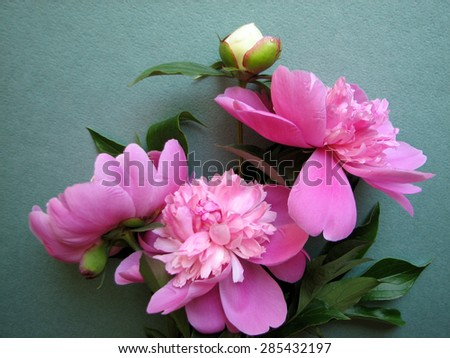 pink peony blooms on green background - stock photo