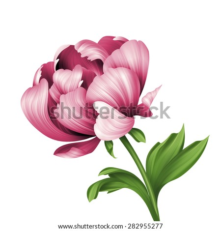 pink peony flower and green curly leaves illustration, isolated on white background - stock photo