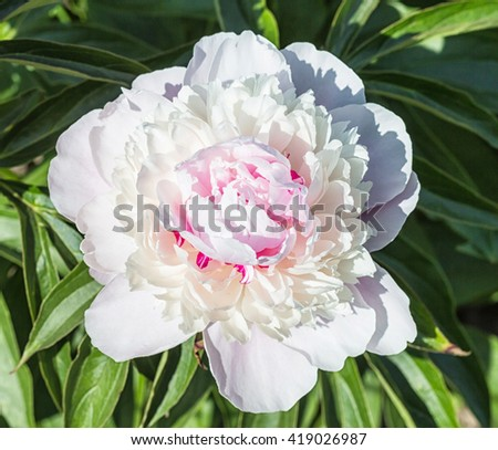 pink peony flower in a botanical garden - stock photo