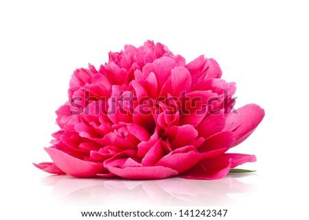 Pink peony flower isolated on white background - stock photo
