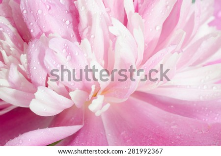 pink peony flower petals   macro - stock photo
