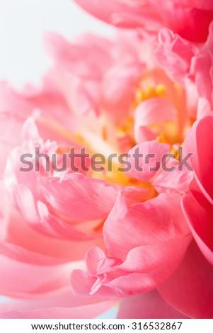 pink peony flower petals macro background - stock photo