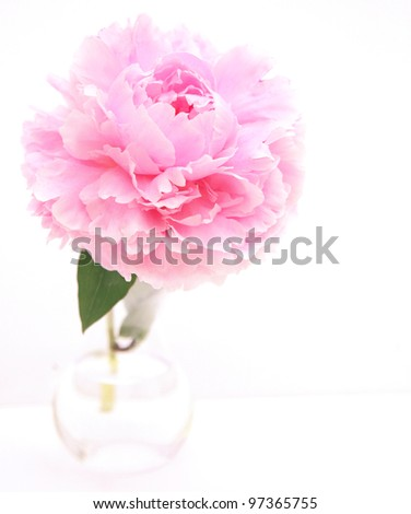 pink peony in glass vase - stock photo