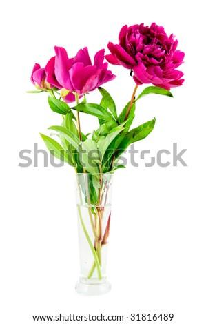 Pink peony in vase on white background - stock photo