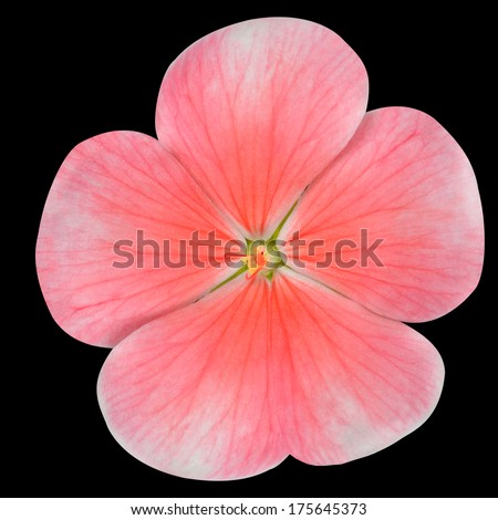 Pink Periwinkle Flower with Red Center - Vinca Minor  Isolated on Black Background - stock photo