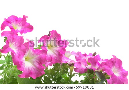 Pink petunia border isolated on white - stock photo