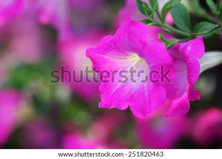 pink petunia flower - stock photo
