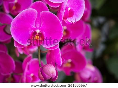 pink phalaenopsis orchid flower - stock photo