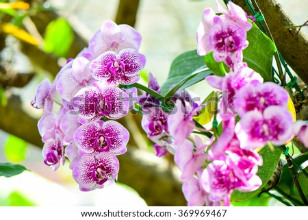Pink Phalaenopsis orchids hybrid at Royal Rajchapuak Park,Chiangmai Thailand Thai orchids - stock photo