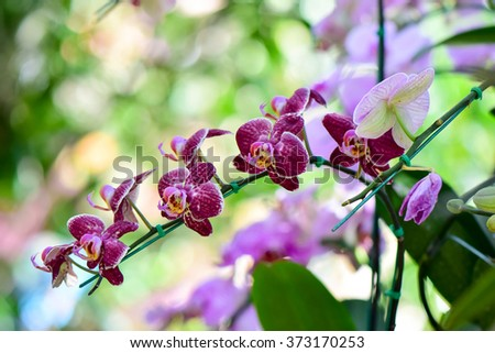 Pink Phalaenopsis orchids hybrid at Royal Rajchapuak Park, Chiangmai Thailand Thai orchids - stock photo
