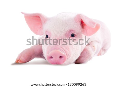 Pink pig in lying on his stomach. Isolated on white background - stock photo