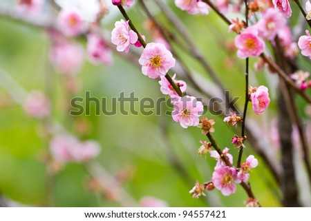 Pink Plum blossom, known as Mume flower in Chinese - stock photo