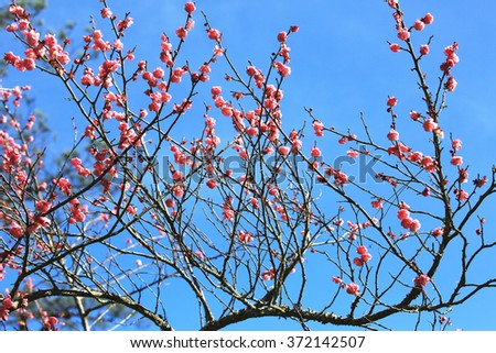 Pink Plum flowers,beautiful pink flowers blooming on the branch with blue sky in spring,Flowering plum - stock photo