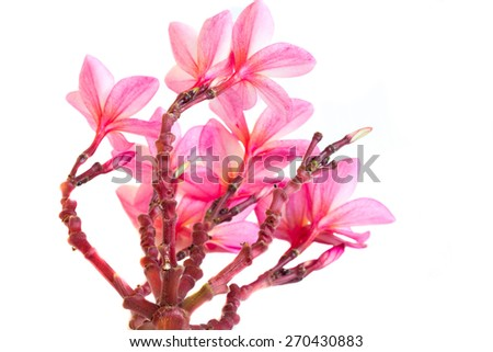 Pink plumeria flowers isolated on white background - stock photo