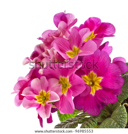 Pink primrose, above view, isolated on white - stock photo