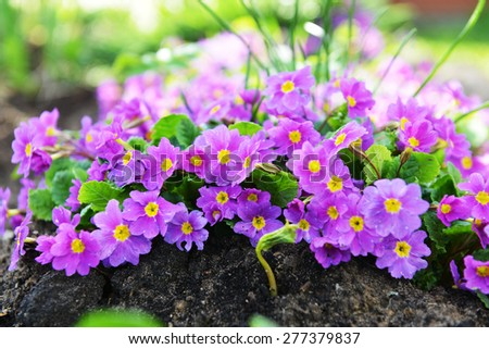 Pink primrose flowers in garden - stock photo