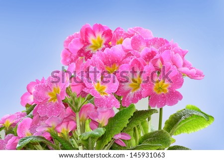 Pink primroses with raindrops against a blue background. - stock photo