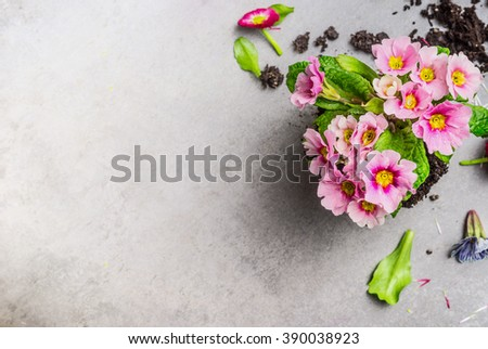 Pink primula flower for gardening or potting on gray stone background, top view, place for text - stock photo