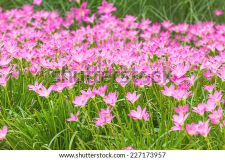 Pink rain lily flower in garden. Changmai Thailand. - stock photo