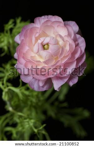 pink ranunculus flower - stock photo