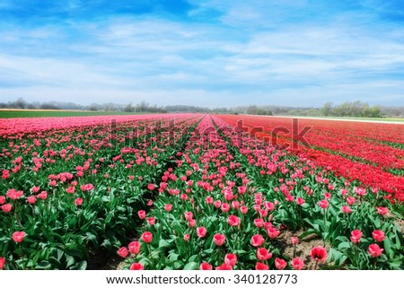 pink, red and orange tulip field - stock photo
