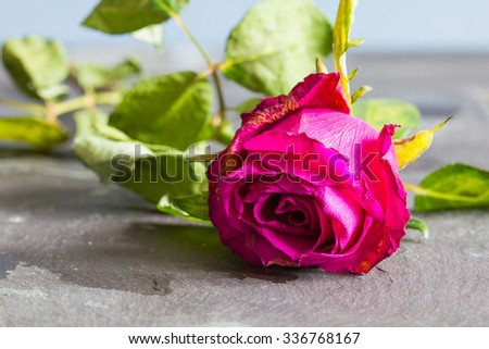 Pink, red wilting rose flower with leaves on a slate background. Closeup, copyspace, selective focus - stock photo