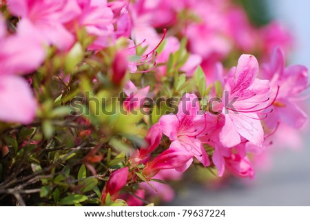 Pink Rhododendron  (Azalea) close-up - stock photo