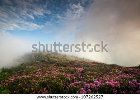 Pink Rhododendron Bloom on Blue Ridge Mountainside During a Foggy Morning - stock photo