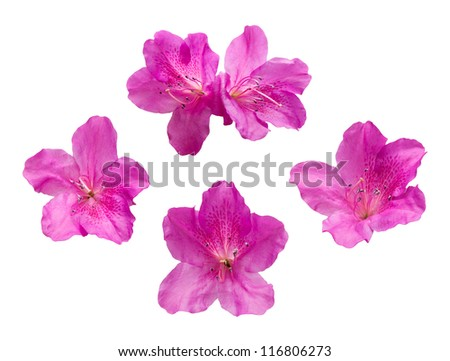 Pink Rhododendron flowers - stock photo