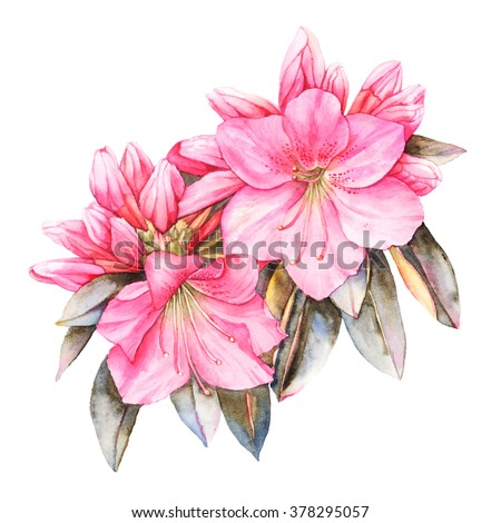 Pink Rhododendron watercolor illustration - stock photo
