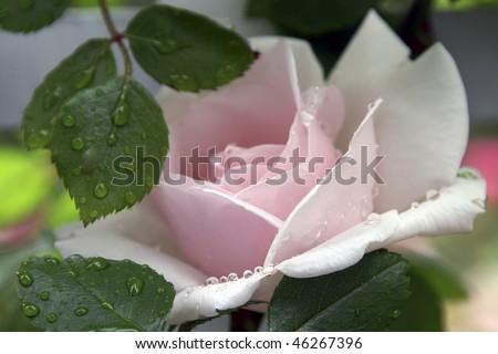Pink Rose After a Rain Horizontal - stock photo